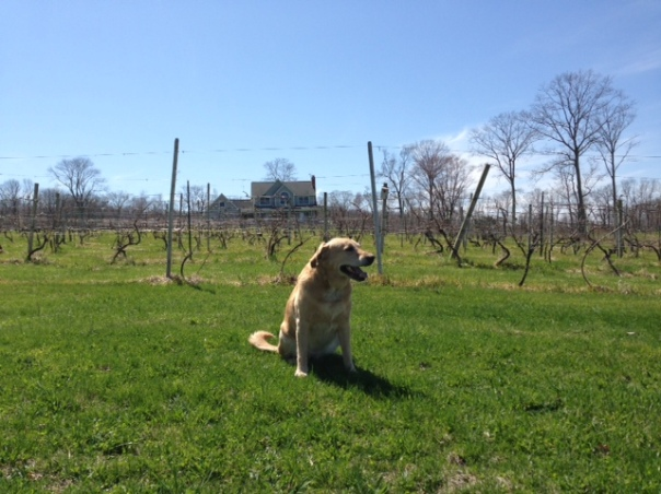 Taz in front of the vineyard - not too many grapes yet...hopefully the weather will warm up soon!!